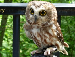 Dori, a northern saw-whet owl from the Schiltz Audabon Nature Center located in Waukesha County, Wisconsin